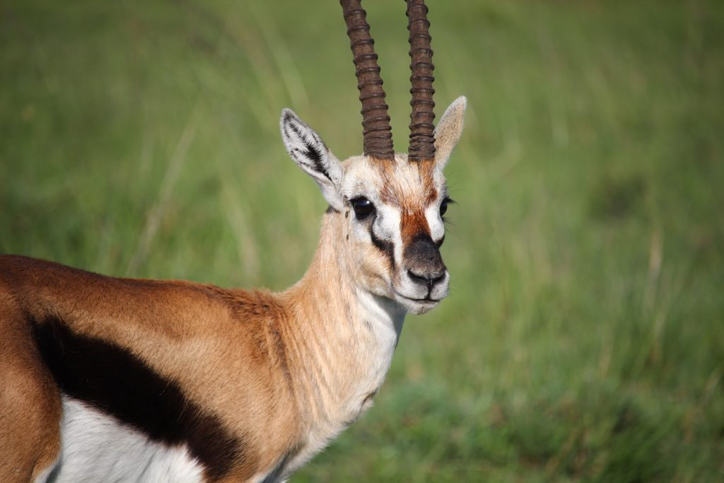 THE GAZELLE AND THAT SMELL